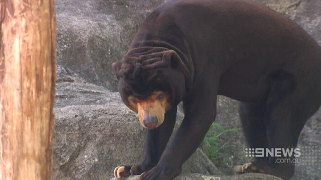 VIDEO: Taronga Zoo helping sun bears find love