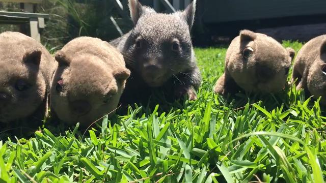 George the Wombat becomes social media star after roadside rescue