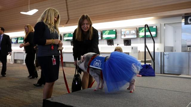 San Francisco International Airport debuts USAs first therapy pig