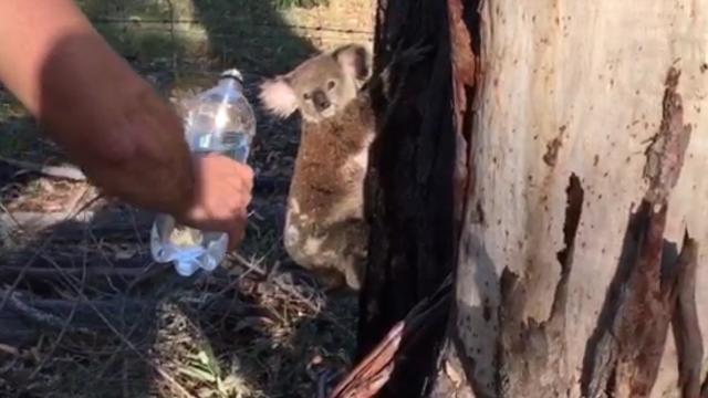 Koala seeks relief from burning Queensland heat by drinking from water bottle