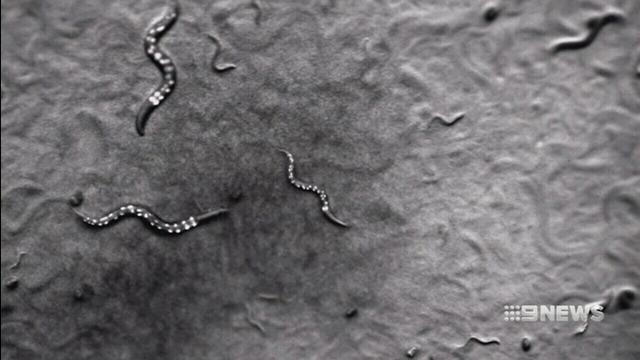 VIDEO: Melbourne researchers hope a tiny worm can fight obesity