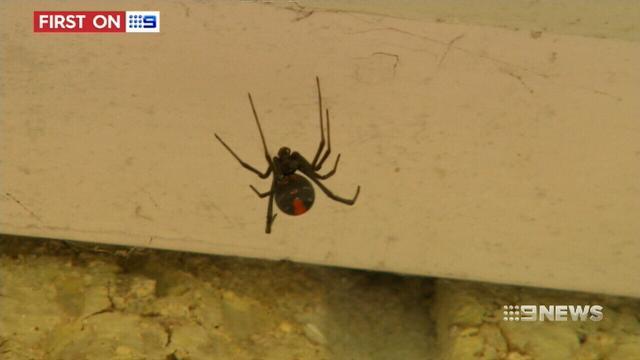 VIDEO: Queensland's deadly redback spider invasion puts seniors and children at risk