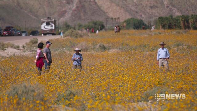 VIDEO: Desert wildflowers bloom following California's super storms