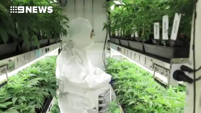 New footage released of Victoria's medicinal cannabis crop