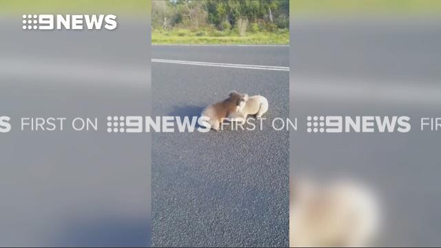 Woman rescues brawling koalas from oncoming truck