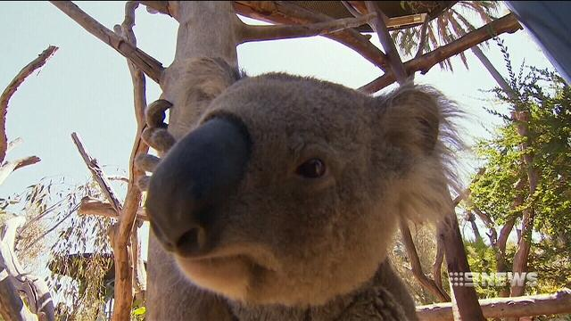 Meet the man responsible for keeping America's koalas alive