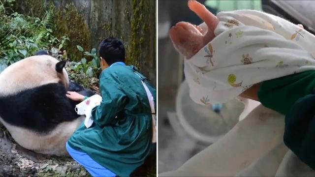9RAW: First panda cub born to both captive and wild parents