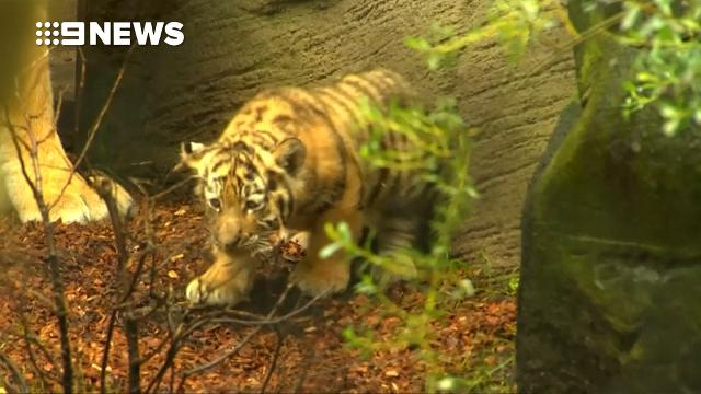 9RAW: German zoo wants the public to name its cute Siberian tiger cubs