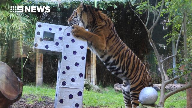 Perth Zoo cats celebrate birthday