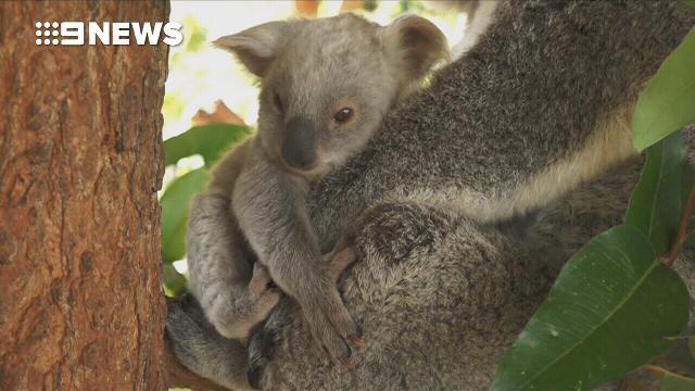 Rare white koala born in Queensland's Australia Zoo