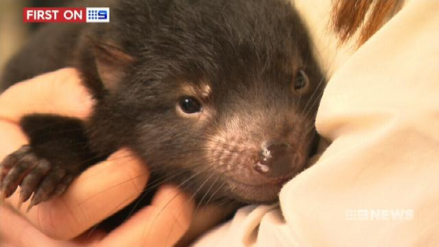 Tassie devil litter brings new hope to conservationists