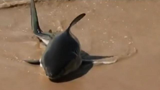 Young Great White Shark Swims in Sydney Sea Pool
