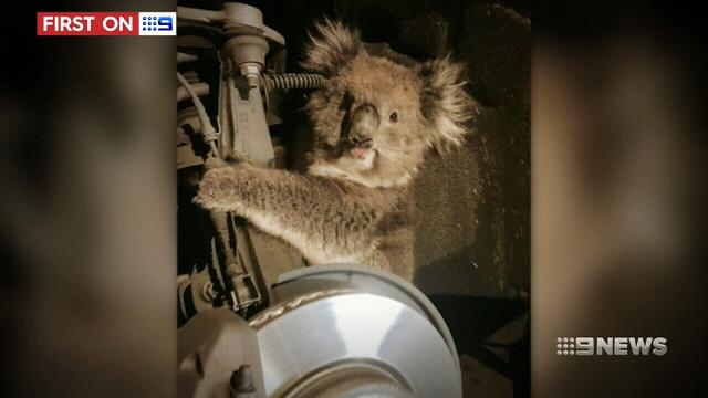Koala Takes Death-Defying Ride In 4WD Wheel Arch