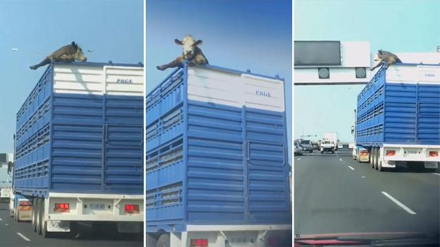 Cow pokes head out of truck narrowly avoiding road signs