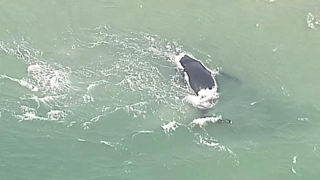 Whale and calf stranded off Queensland coast